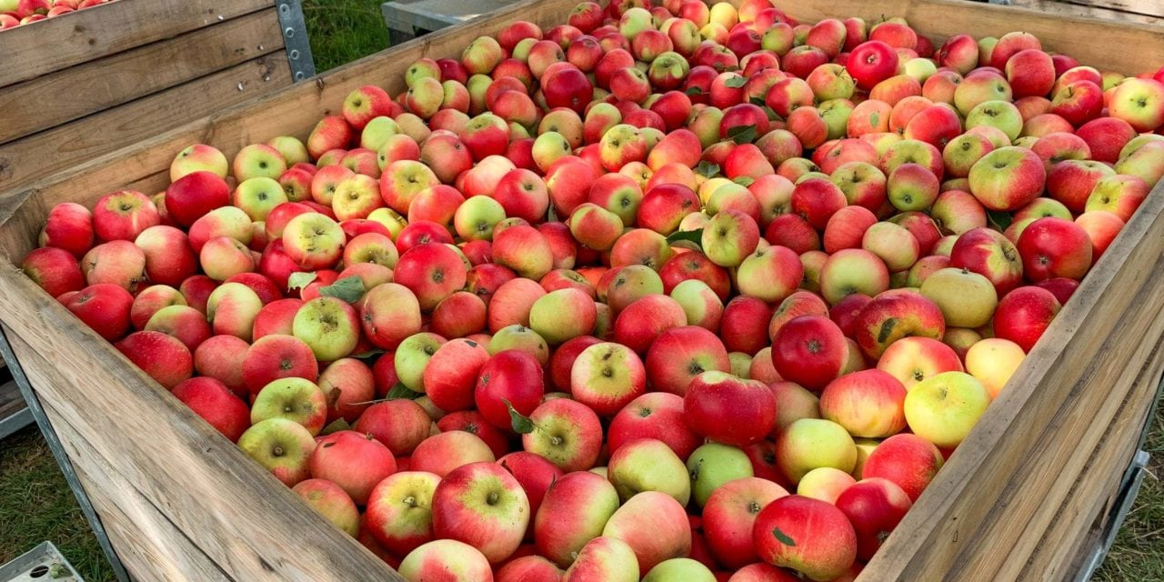 Millions of apples left to rot in UK as Brexit uncertainty worsens EU fruit picker shortage