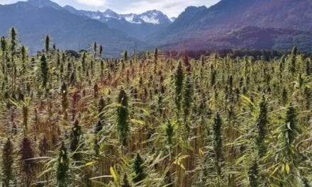 Cannabis: a remedy for the soil?