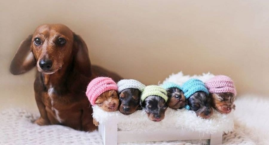 Newborn-Style Young Puppy Sausage Pet Photoshoot is Priceless