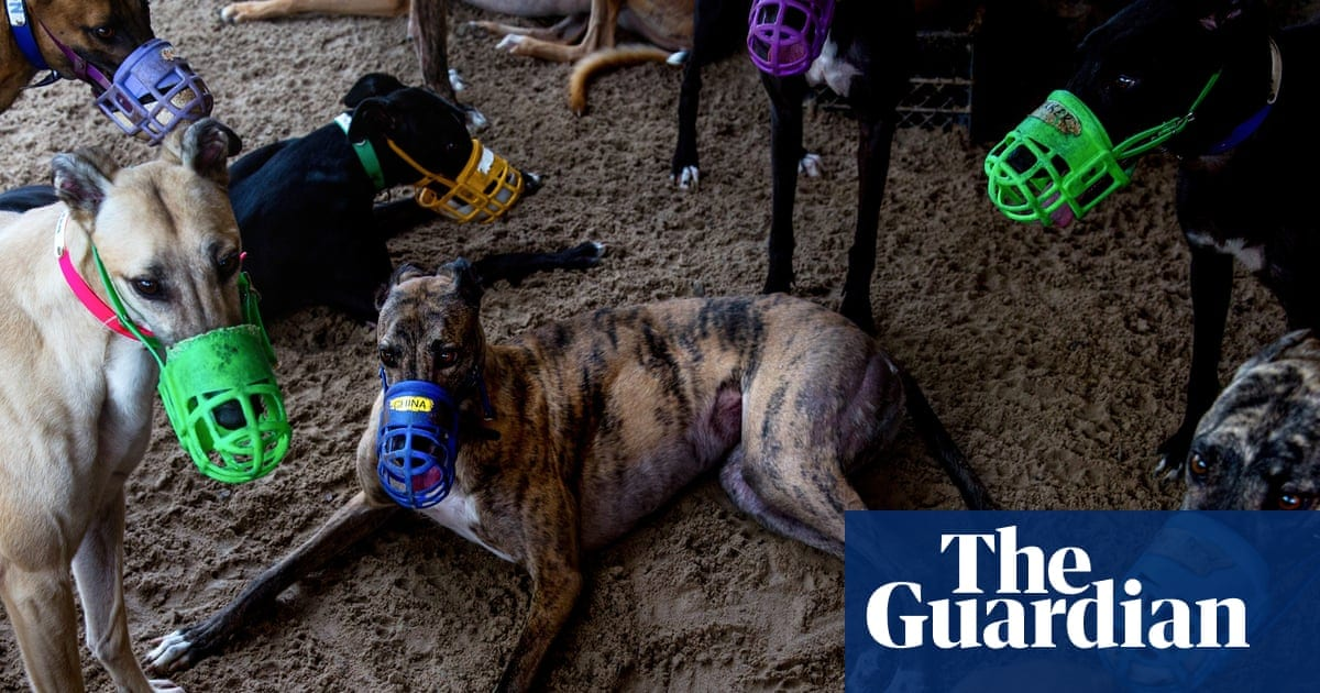 Race to find homes for greyhounds as pandemic closes Florida tracks | Life and style | The Guardian