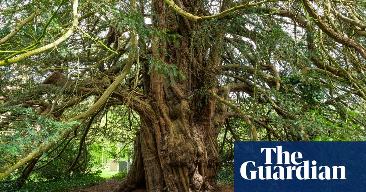 Tree of the week: 'Sitting in this yew was like being in the belly of a large creature' | Life and style | The Guardian