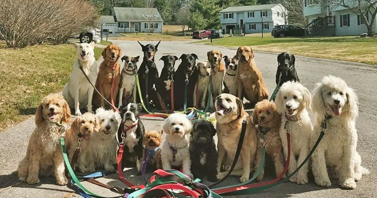 Dog walker takes adorable class photo style portraits of his furry pack every day