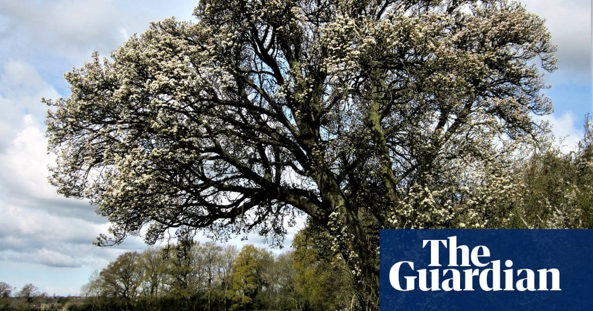 Tree of the week: the beloved 250-year-old wild pear being cut down for HS2   Life and style   The Guardian