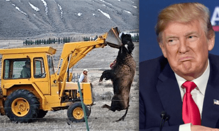 Trump Admin. Just Denied Yellowstone Bison Endangered Species Protection, Sparking Outrage – EnviroNews | The Environmental News Specialists