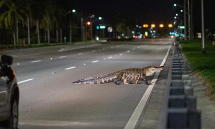 Large alligator stops traffic in Collier County – NBC2 News