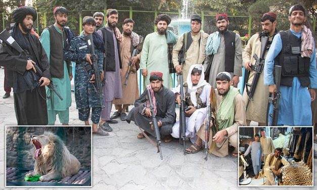 Throwing stones at lions – a day at the zoo, Taliban-style: Jihadis taunt the pride of Kabul | Daily Mail Online